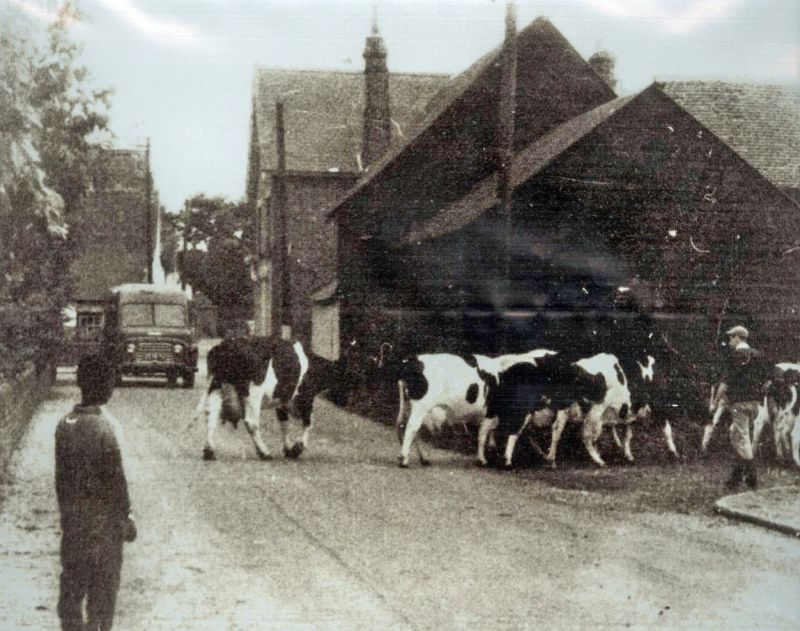 Cows being driven into Hunts Farm at the top of Station Road, Tollesbury. 