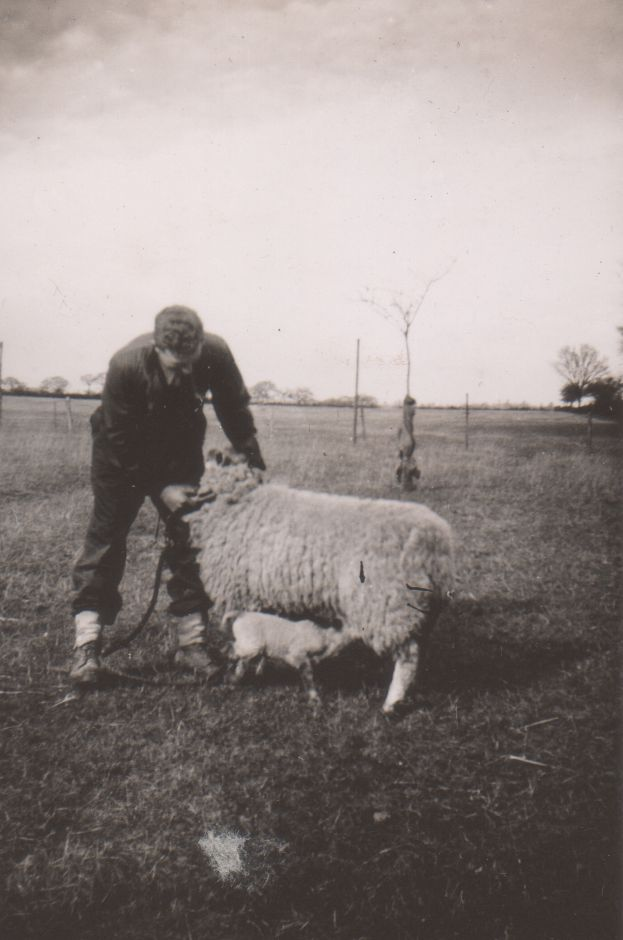 The man with the sheep is probably my father, Stephen Wooldridge, but it's hard to be sure. We did have sheep at one time, but mostly only arable crops and cattle at Fingringhoe. [ Anne Lee ] 