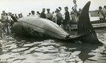 154. ID RG11_235 Whale washed up on the Mersea beach. One of the 25ft whales washed up on Mersea Island 30 July 1939. Seen by Mr Lungley, it looked like an overturned boat with ...